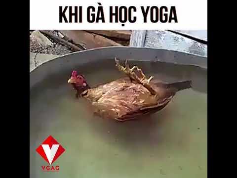 Khi Gà học Yoga Trên Nước