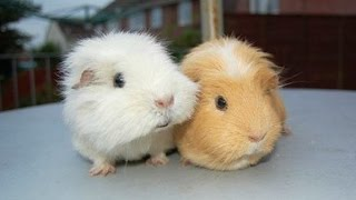 A guinea pig is such a cute and funny pet. Check out these cute guinea pigs and funny guinea pigs in this new animals ...
