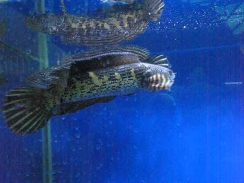 史上最兇殘的魚之一 有人知道這是什麼魚?
