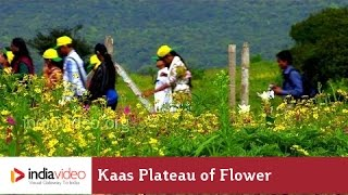 Satara India  City new picture : Kaas Plateau of Flower at Satara | India Video