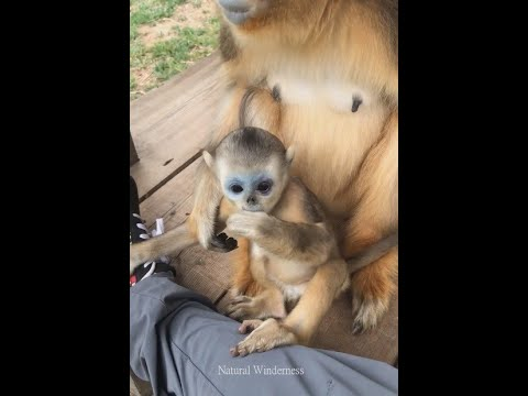 A Baby Golden Snub Nosed Monkey Hidden Kingdoms Of China