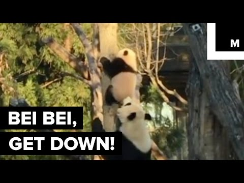 VIDEO: Bei Bei's mom to the rescue