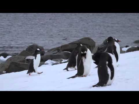Sony 4K Demo  Arctic Animals