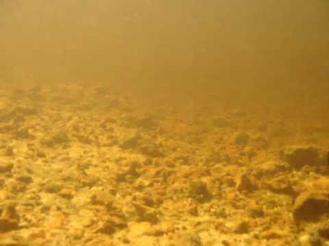 School of wild Corydoras in the Amazon 2