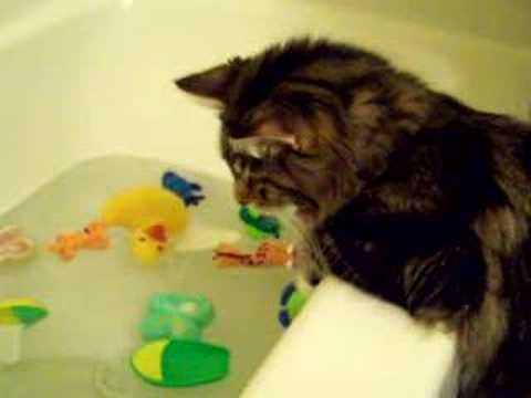 Apollo the Maine Coon loves Bathtub