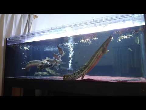 ポリプテルスは待ち伏せ形より狩猟形!ビキールビキールのカエル狩り動画まとめ