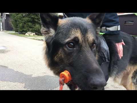 Polizeihund Hitchcock ist zurück im Dienst