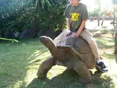 Tortoise riding