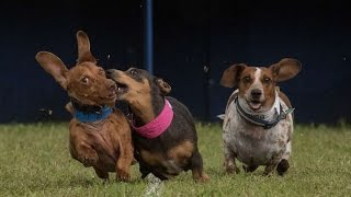 Nonton Buda Wiener Dog Races 2016 - Finals Film Subtitle Indonesia Streaming Movie Download