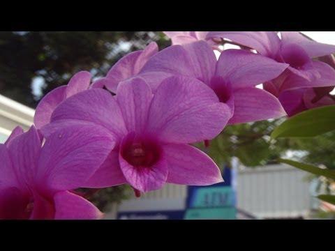 Тайские орхидеи. Thai orchid