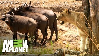 Video Leonas vs búfalos ¿quién ganará? | Ríos de África | Animal Planet MP3, 3GP, MP4, WEBM, AVI, FLV Agustus 2019