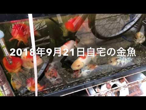 2018年9月23日 自宅の金魚(らんちゅう 江戸錦 黒らんちゅう 東錦)