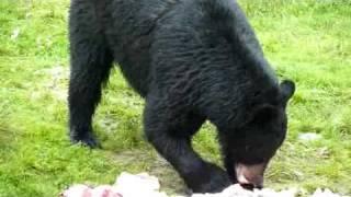 Baie-Comeau (QC) Canada  City pictures : Ours noirs à Baie-Comeau (Canada)