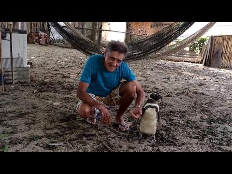 老爺爺將救回來的小企鵝放生後,接著的4年裡他每次都收到還沒讓他失望過的驚喜…