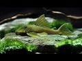 Green Phantom L 200 -  Hemiancistrus Subviiridis