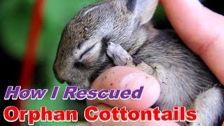 Video How I Cared for Baby Cottontails MP3, 3GP, MP4, WEBM, AVI, FLV Juli 2019