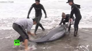 Около 150 дельфинов выбросились на берег на востоке Японии
