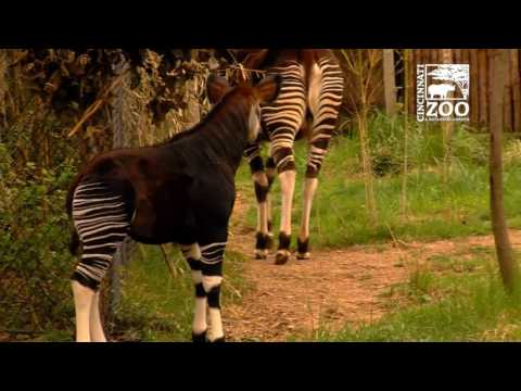 Baby Okapi Plays Outside for the First Time at Cincinnati