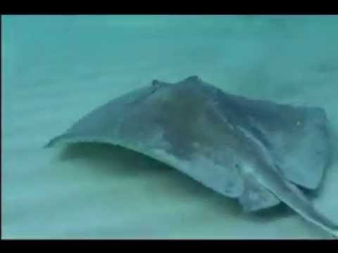 Save the Stingray