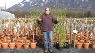 #71 Schnitt und Standort von Bambus