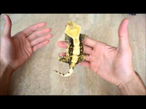 Handling Crested Geckos