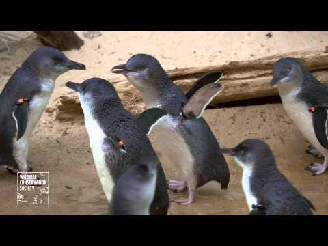 太可愛啦!牠們這一群是世界上最小的企鵝!