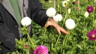 #805 Dahlien - Schönere Blüten