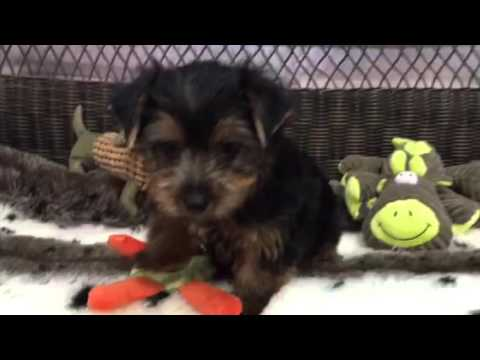 Handsome & affectionate Yorkie puppy