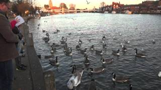 Marlow-on-Thames United Kingdom  City new picture : Feeding Ducks in River Thames, Marlow United Kingdom UK