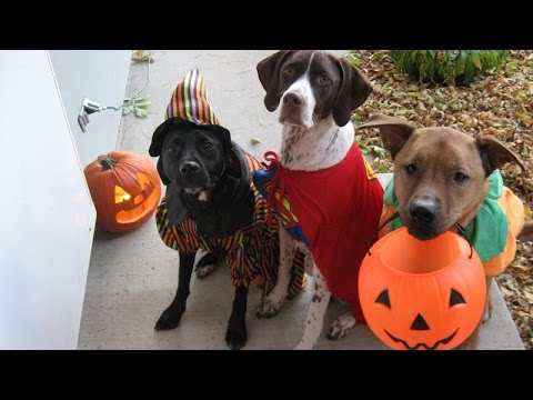wearing - Did you know that Halloween costumes are not just for people but also for animals? Here's a compilation about dogs and cats wearing Halloween costumes! Looks...