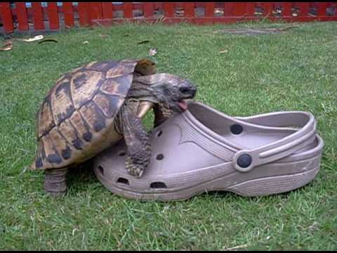 Tortoise having sex with a shoe, squeaking. (видео)