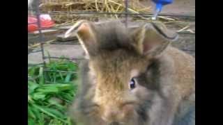 Download Lagu Conejos cabeza de león uruguay 2012 Mp3