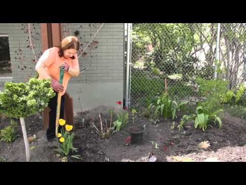 Transplanting Tulips After Bloom How to Transplant Tulips After