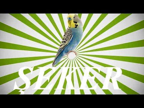 Video ŞEKER SESİ Papağan ve Muhabbet kuşu  konuşma eğitimi Sesi hazır ses kaydı 1 saat download in MP3, 3GP, MP4, WEBM, AVI, FLV January 2017