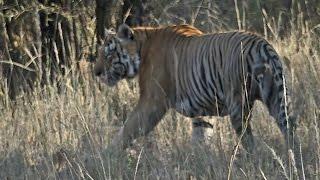 Bandhavgarh India  City pictures : India 2015: Bandhavgarh National Park (Part 2) Madhya Pradesh