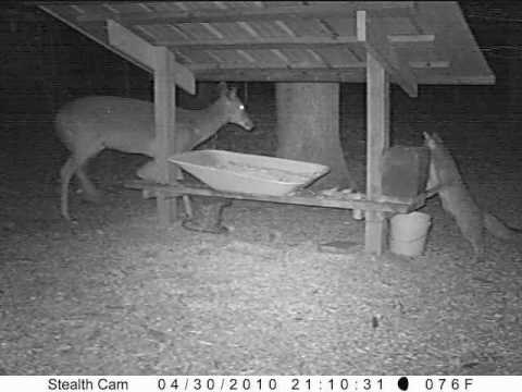 430 Fox & Deer having dinner together