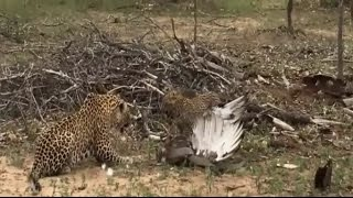 Golden eagle hunted black mamba snake winding金雕猎杀黑曼巴蛇失手被蛇缠绕便宜了花豹享受美味大餐