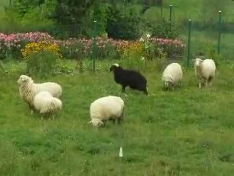 Owce są bee