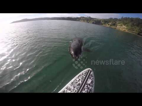 Orca swimming under paddleboard