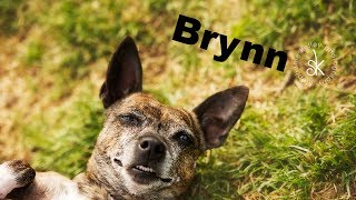 Brynn - Dachshund / Terrier / Mixed (short coat) Dog For Adoption
