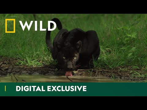 Hiding in the Shadows | The Real Black Panther | National Geographic Wild UK