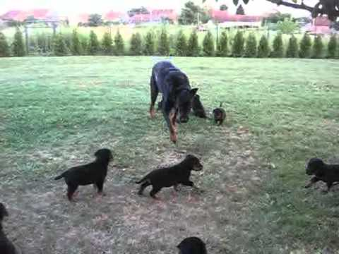 Beauceron puppies 2