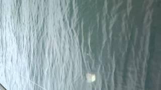 Video Pesca do Pargo ALGARVE. Ivo MP3, 3GP, MP4, WEBM, AVI, FLV Desember 2017