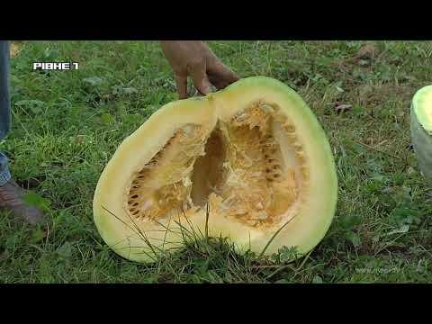 Гарбузи - велетні та багатоплідні горіхи виросли на городі у рівнянина [ВІДЕО]