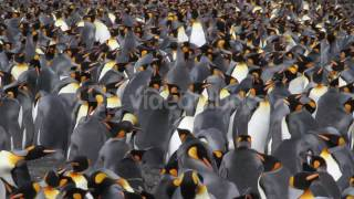 KING PENGUIN COLONY WITH CHICKS IN ANTARCTICA 4JCAB4PYX