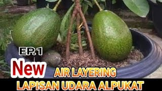 Video LAPISAN UDARA ALPUKAT/HOW TO AIR LAYERING AVOCADO TREES MP3, 3GP, MP4, WEBM, AVI, FLV Maret 2019