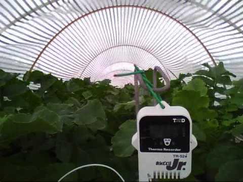 大根の高温期栽培試験