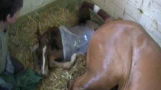 Download Lagu Mare Foaling at Landloch Farm Part 3 Mp3