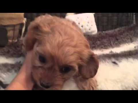 Adorable little cavachon puppy
