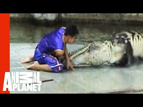 Uncut - For More Unexpected Animal Bites - Check Out: http://animal.discovery.com/videos/untamed-uncut-animal-bites/?smid=YTAPC-YTD-PLP A crocodile bites down on a m...
